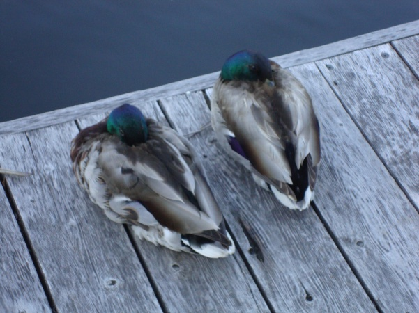 So cold even the ducks were snuggling in their feathers!  Wind chill!!!